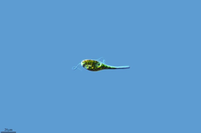 Image of <i>Eutreptia viridis</i>