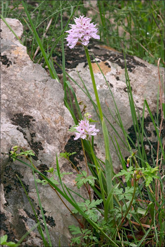 Image of <i>Neotinea <i>tridentata</i></i> ssp. tridentata