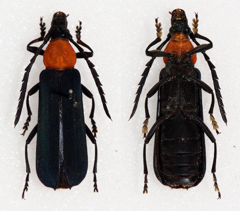 Image of <i>Erythrus gilvellus</i> Holzschuh 2006