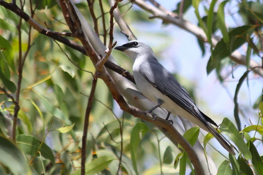 Image of White-bellied Cuckooshrike