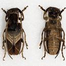 Image of <i>Spodotaenia basicornis</i> Fairmaire 1884