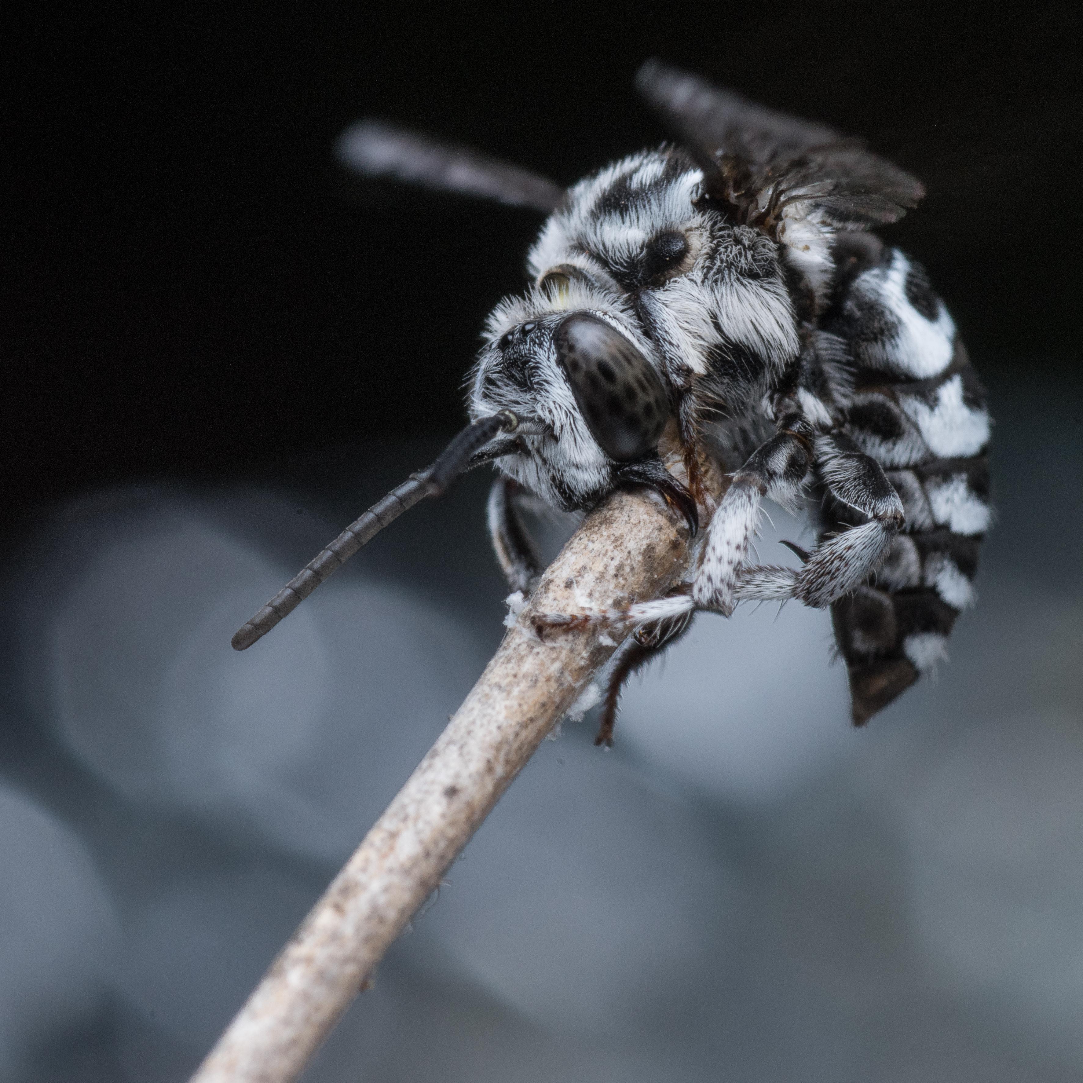 Image of <i>Amegilla thyreus</i>