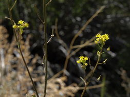 Image of Sierra tansymustard