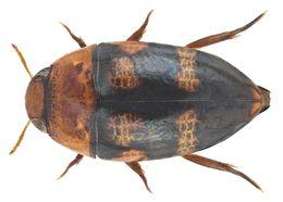 Image of <i>Canthydrus laetabilis</i> (Walker 1858)
