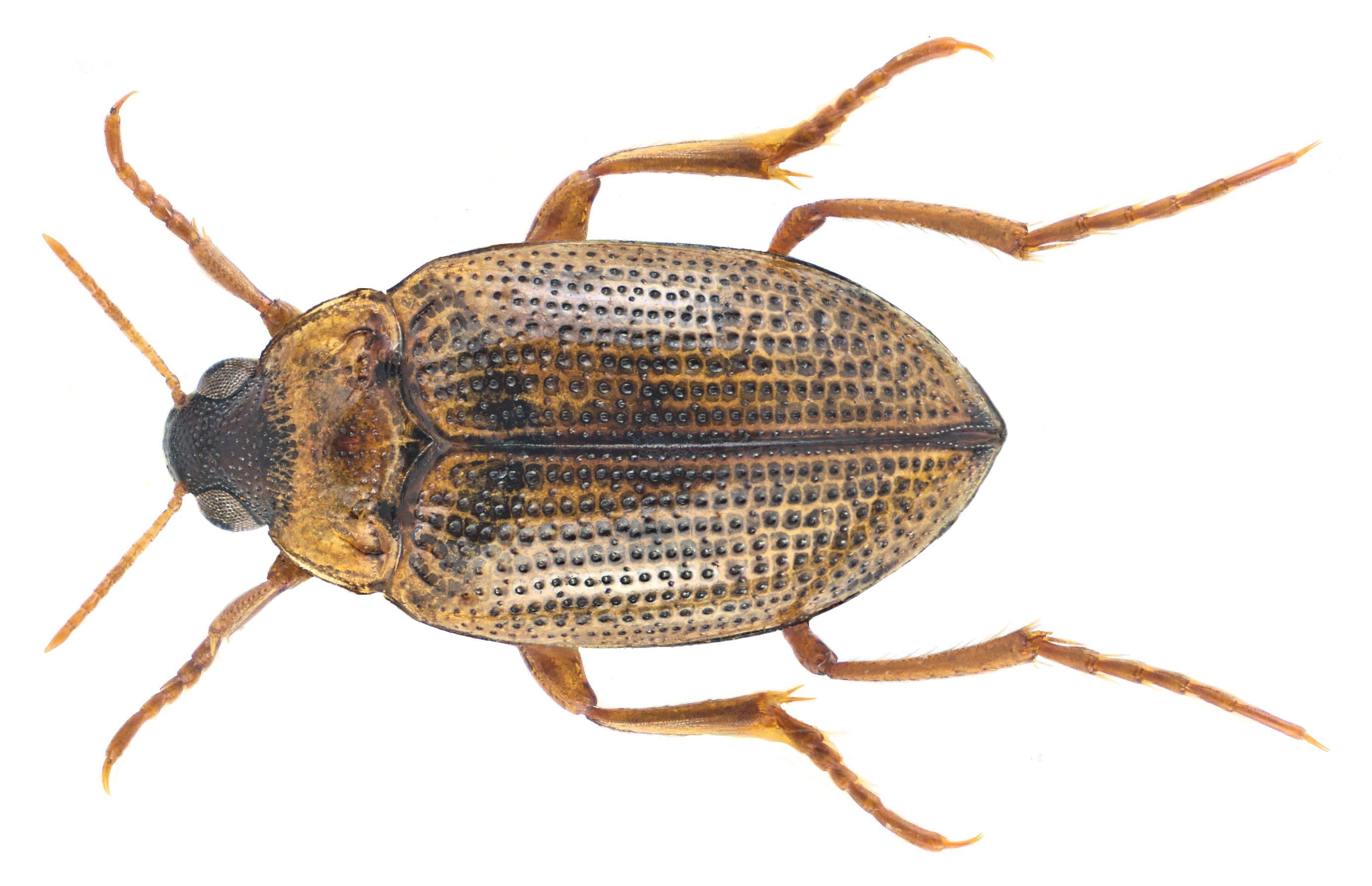 Image of <i>Haliplus lineatocollis</i> (Marsham 1802) Marsham 1802