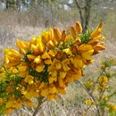 Image of gorse
