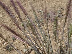 Image of <i>Elymus <i>elymoides</i></i> ssp. elymoides