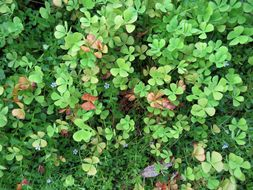 Image of villous waterclover