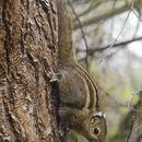 Image of Swinhoe's Striped Squirrel