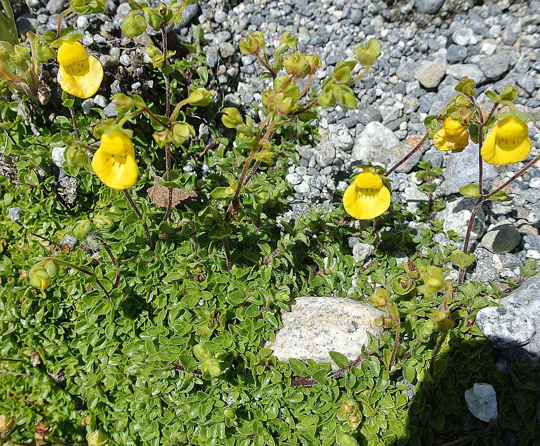 Image of <i>Calceolaria tenella</i> Poepp. & Endl.