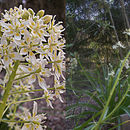 Image of giant deathcamas