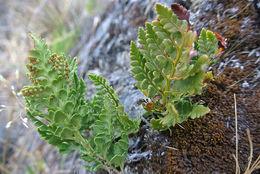 Image of <i>Polystichum plicatum</i> (Poepp. ex Kunze) Hicken ex Hosseus