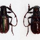 Image of <i>Hoplistocerus refulgens</i> Blanchard 1847
