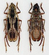 Image of <i>Xoanodera</i> (<i>Lajoyeia</i>) <i>striata</i> Gressitt & Rondon 1970