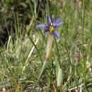Image of Idaho blue-eyed grass