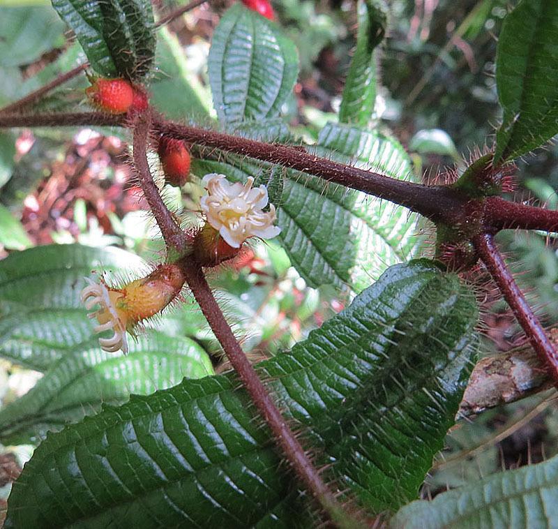 Image of <i>Maieta guianensis</i> Aubl.