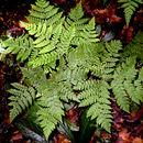 Image of triplophyllum