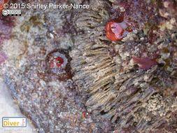 Image of <i>Euherdmania divida</i> Monniot C., Monniot F., Griffiths & Schleyer 2001