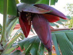 Image of <i>Musa xparadisiaca</i>