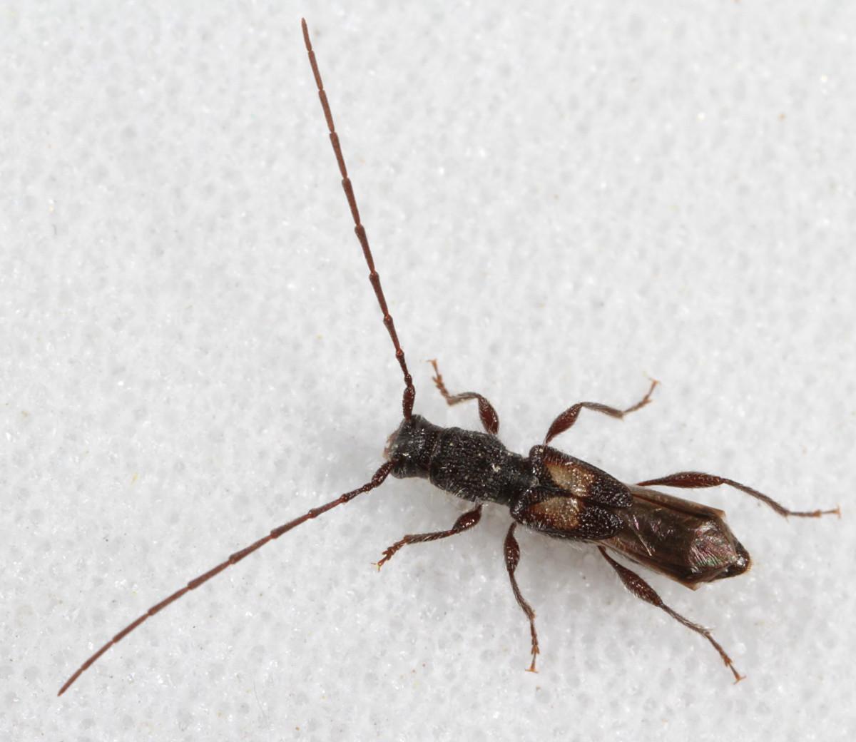 Image of <i>Molorchus <i>bimaculatus</i></i> ssp. bimaculatus