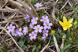 Image of violet woodsorrel
