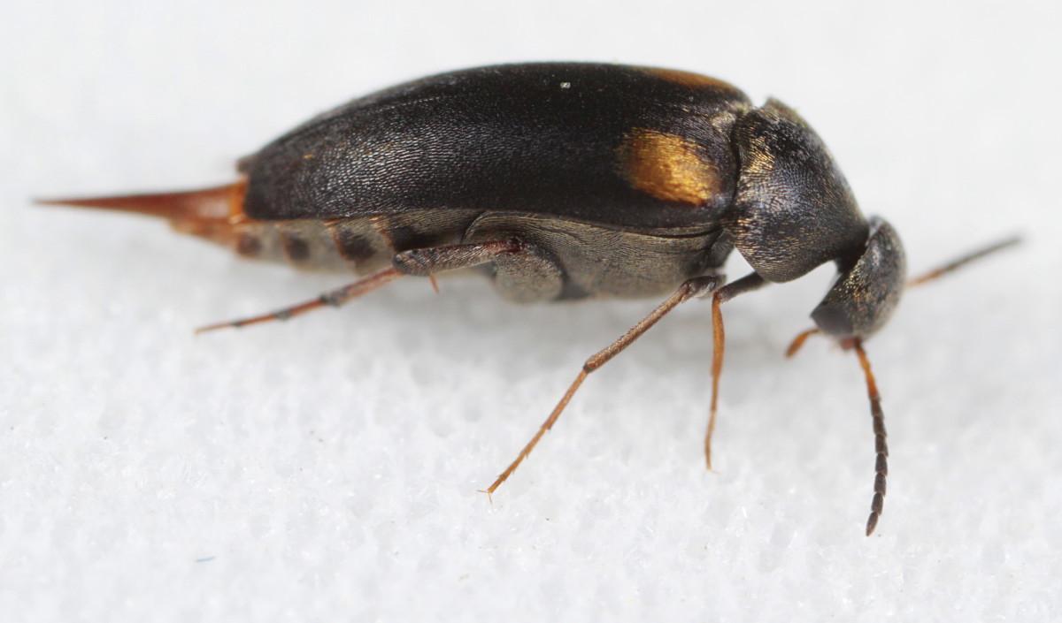 Image of <i>Mordellochroa scapularis</i> (Say 1824)