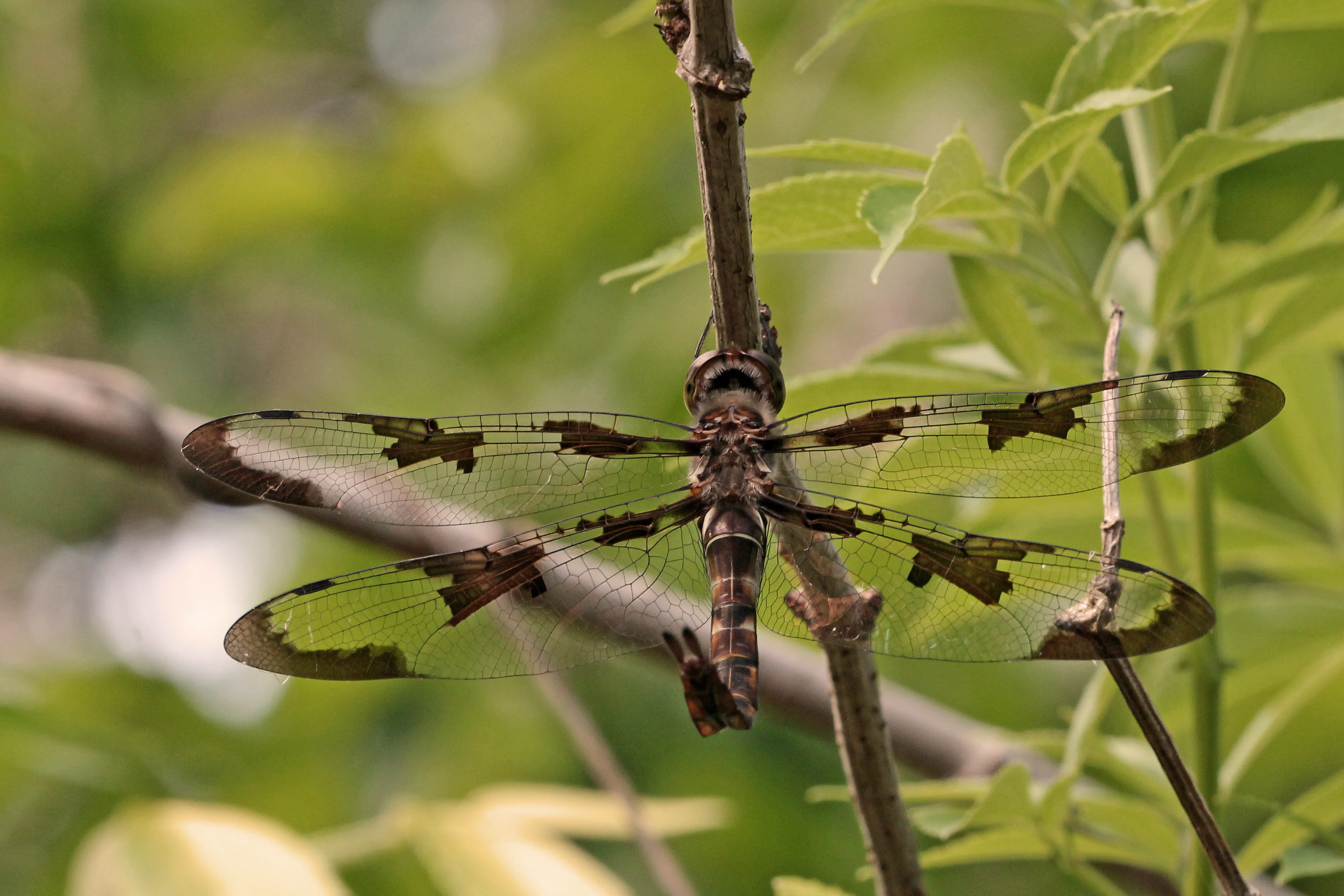 Image of Prince Baskettail