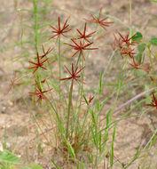 Image of <i>Cyperus rupestris</i> Kunth