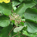 Image of flameberry