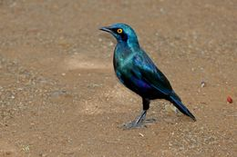 Image of Greater Blue-eared Starling