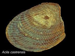 Image of <i>Acila castrensis</i> (Hinds 1843)