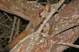 Image of Brown Greater Galago