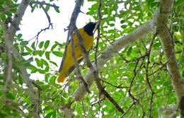 Image of African Black-headed Oriole