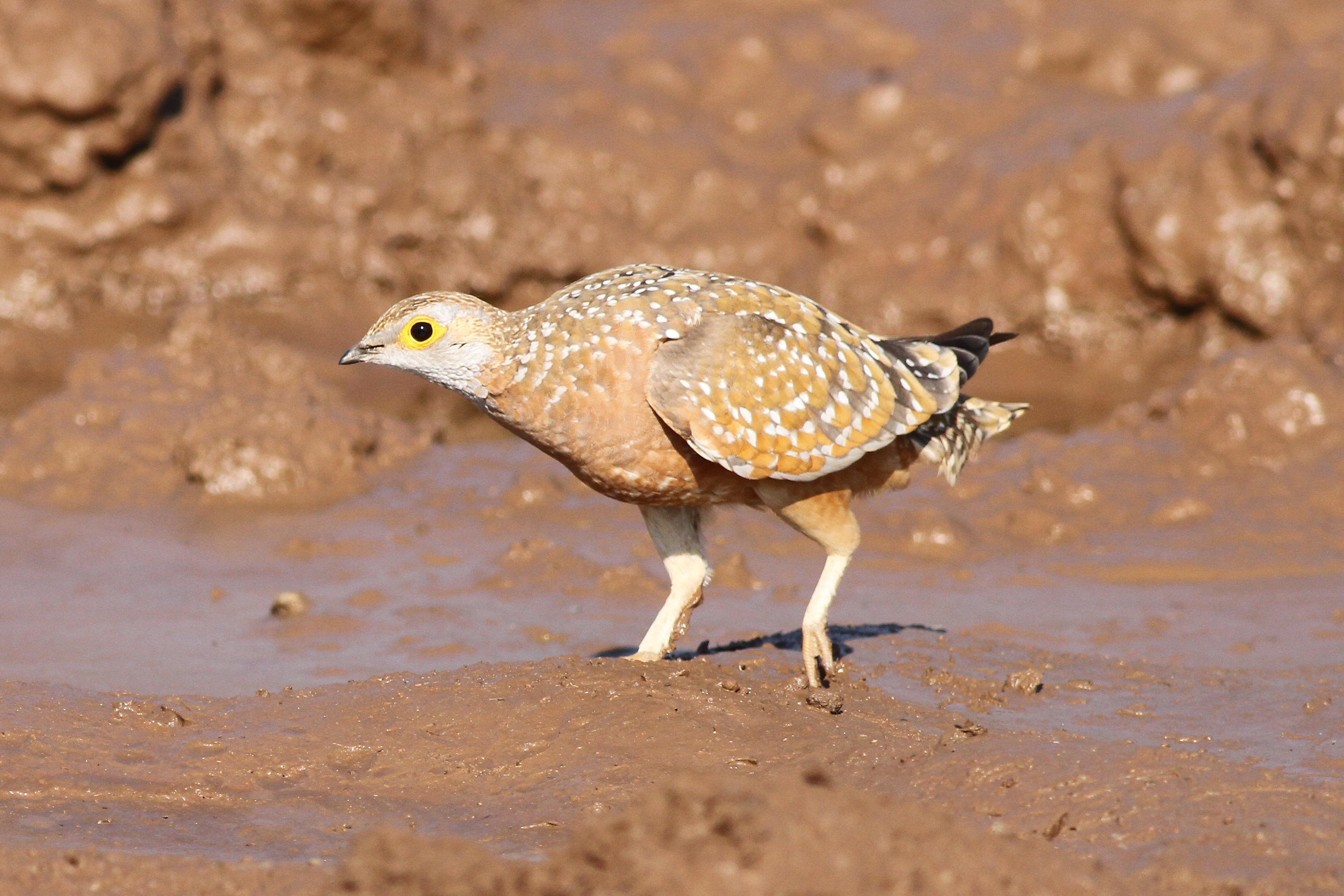 Image of Burchell's Sandgrouse