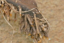 Image of <i>Ceratophaga vastella</i>