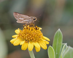 Image of Salt Marsh Skipper