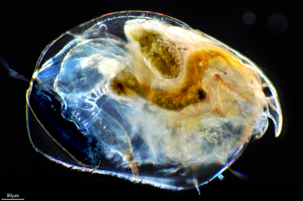 Image of giant crawling waterflea