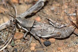 Image of <i>Monistria maculicornis</i> Sjöstedt 1921