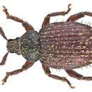 Image of Cathormiocerus