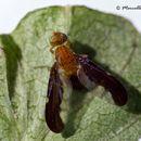 Image of <i>Hemilea pulchella</i>