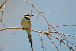 Image of White-throated Bee-eater