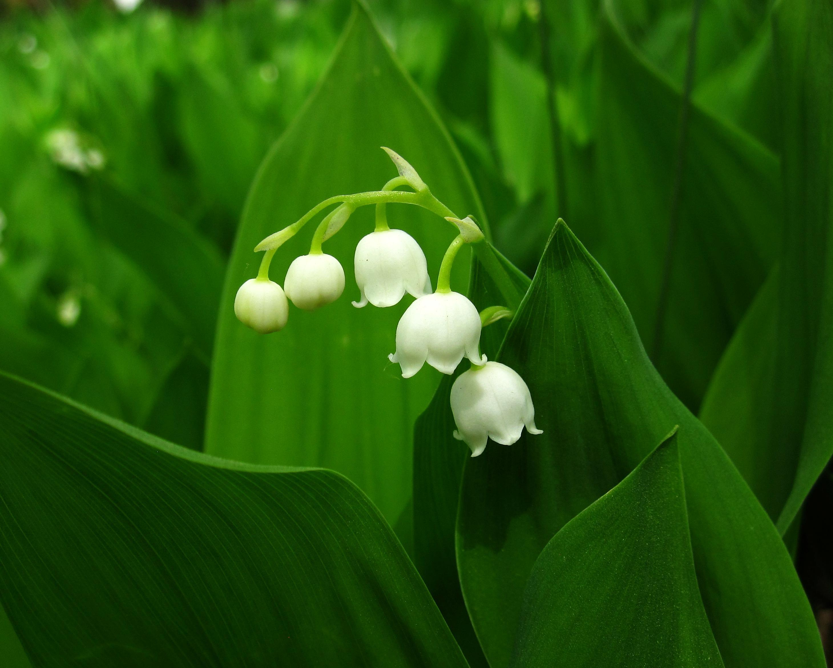 Image of Lily-of-the-valley