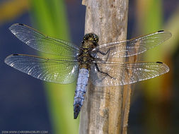 Image of Black-tailed Skimmer