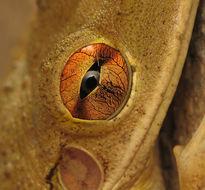 Image of Cuban Treefrog