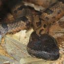 Image of <i>Ovophis monticola</i> ssp. <i>convictus</i> (Stoliczka 1870)
