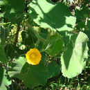 Image of hairy Indian mallow