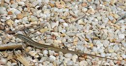 Image of <i>Ctenotus taeneolatus</i>