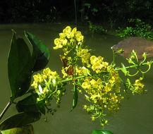 Image of <i>Hiraea fagifolia</i> (DC.) A. Juss.