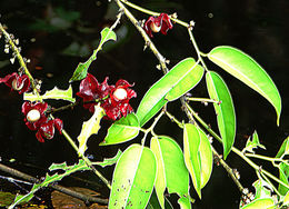 Image of <i>Heisteria spruceana</i> Engl.