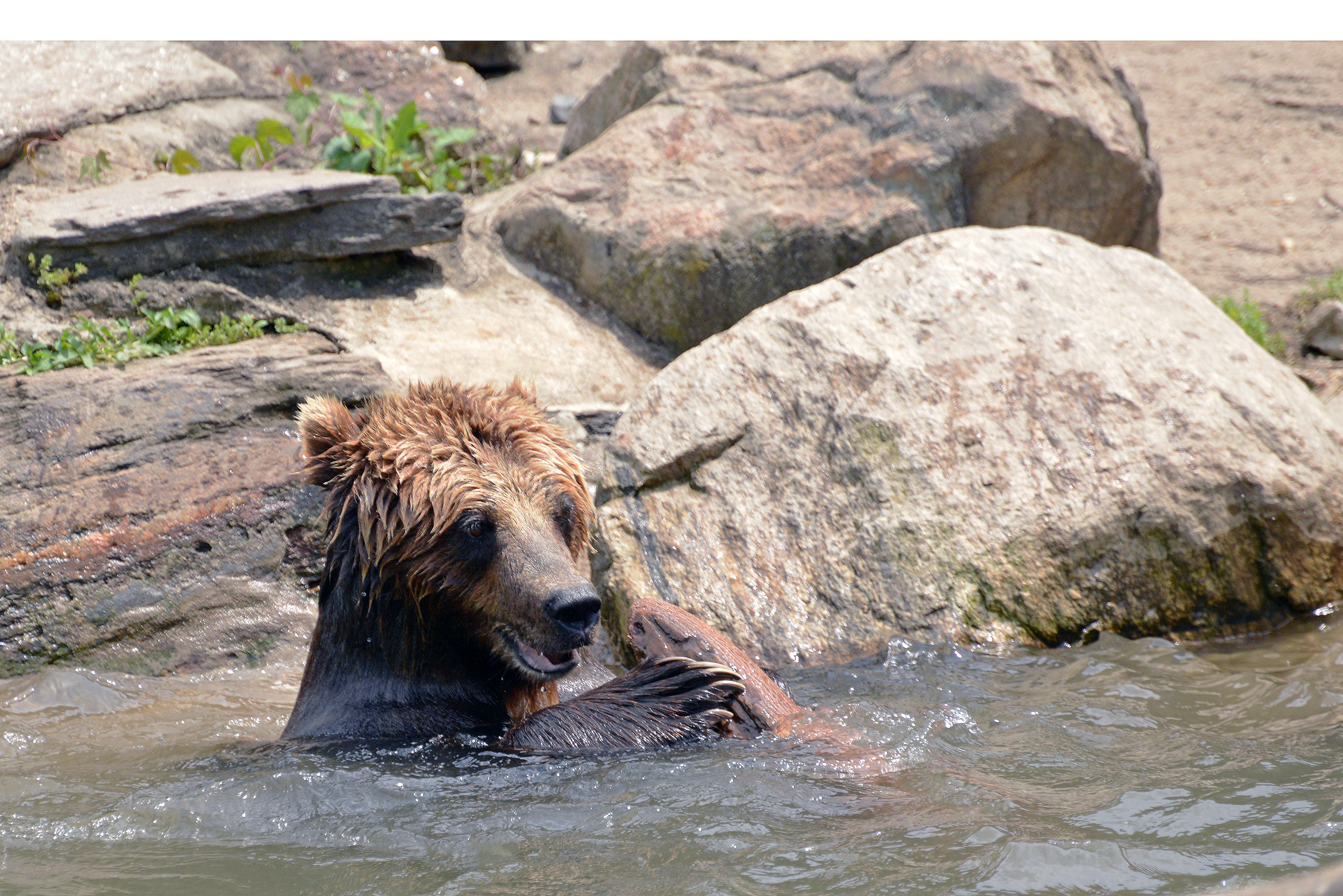 Image of Grizzly Bear